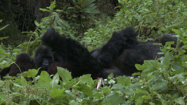 Silverback lying in foliage with females