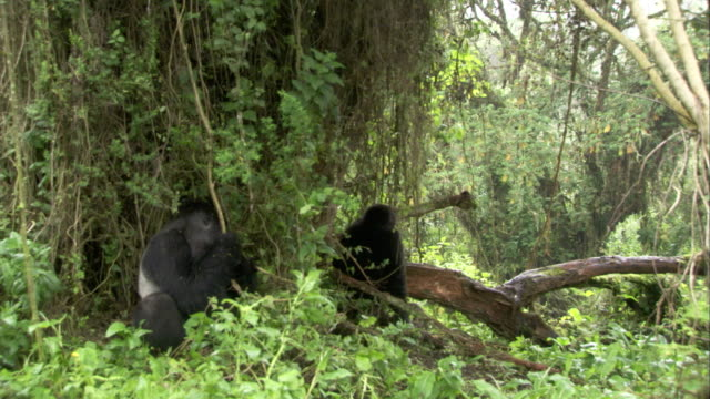 A silverback mountain gorilla guards part of his troop in the forest. Available in HD.
