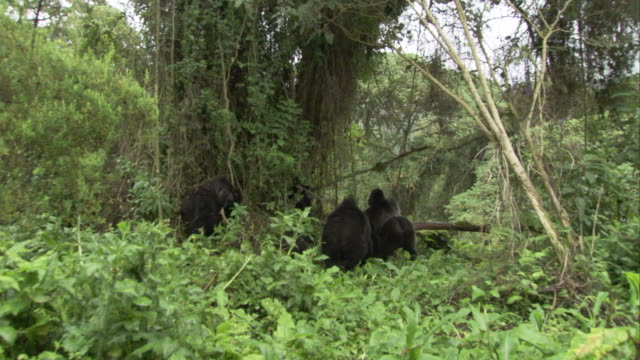 A silverback mountain gorilla leads his troop to safety in the forest. Available in HD.