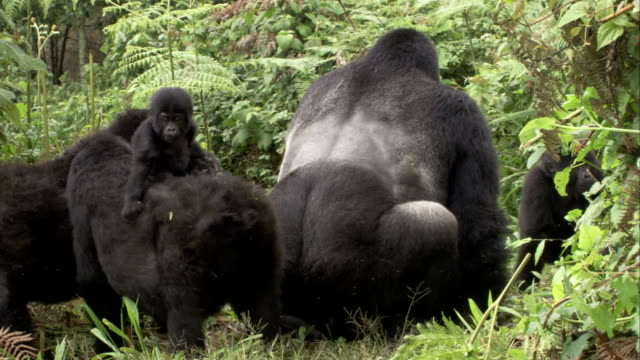 a silverback mountain gorilla mates as a juvenile watches from atop its mother. available in hd. - monkey stock videos and b-roll footage