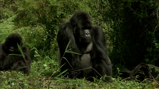 a silverback mountain gorilla rests with his family in a jungle clearing. - male animal stock videos & royalty-free footage