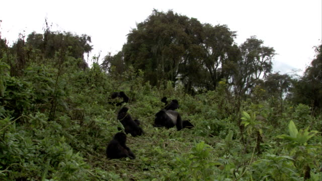 A silverback mountain gorilla sits in the middle of a hillside troop. Available in HD.