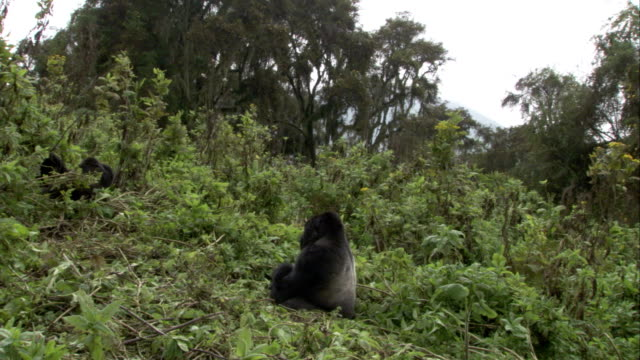 A silverback mountain gorilla sits in vegetation on a hillside. Available in HD.