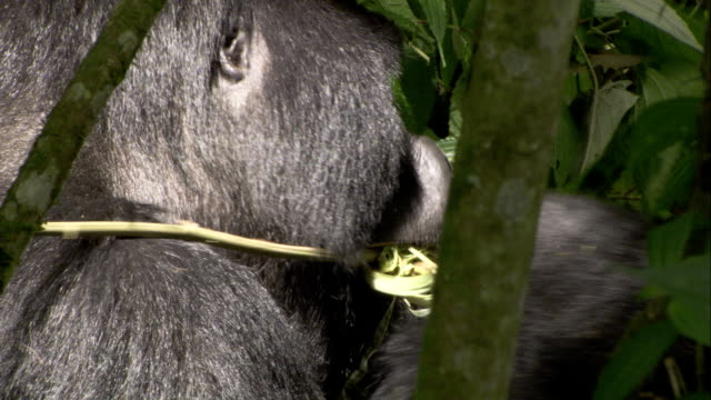 A silverback mountain gorilla strips bark from branch and eats it. Available in HD.