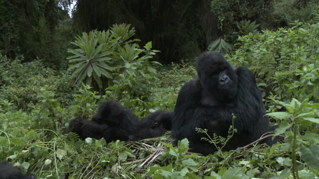 Silverback protecting family