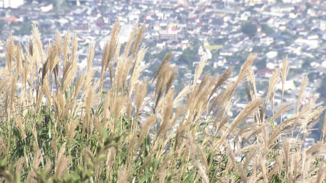 silvergrass (susuki) on mt. tsurumi - oita city stock videos & royalty-free footage