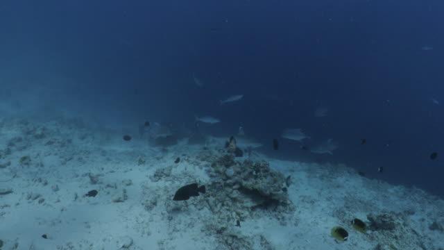 stockvideo's en b-roll-footage met silvertip shark en grote trevally jacht op onderzeese zand in malediven - rondrijden