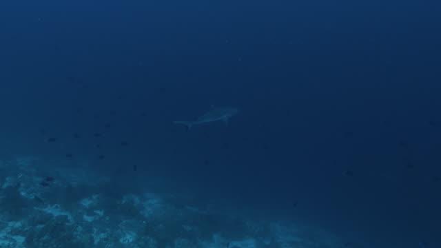 vídeos y material grabado en eventos de stock de crucero silvertip shark a lo largo del borde del atolo - pasear en coche sin destino