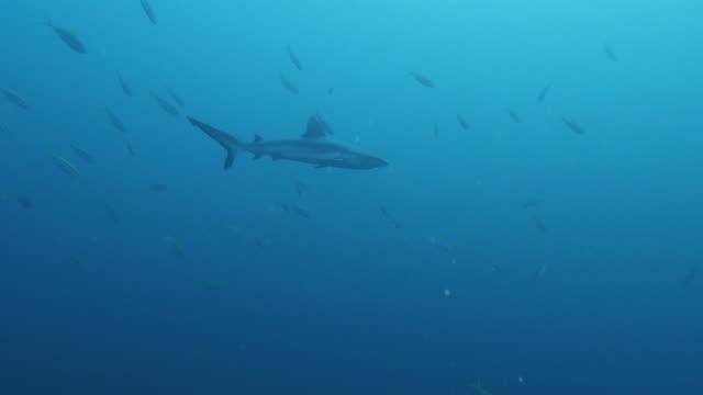 vídeos y material grabado en eventos de stock de silvertip tiburón cruising undersea - pasear en coche sin destino