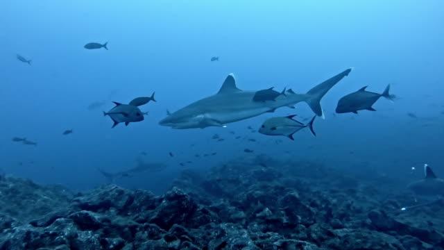 silvertip shark (carcharhinus albimarginatus) - pelagic zone stock videos & royalty-free footage