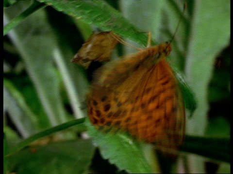 stockvideo's en b-roll-footage met silver-washed fritillary (angynnis paphia) adult flaps wings & flies away, england - vachtpatroon