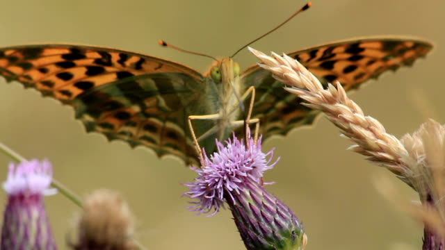 silver-washed fritillary - temperate flower stock videos and b-roll footage