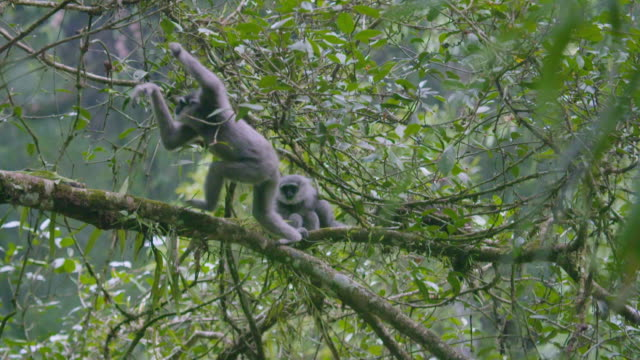 silvery gibbon (hylobates moloch) clambering on a tree in mount halimun salak national park, indonesia - hanging stock videos & royalty-free footage