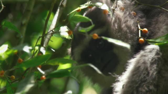 vídeos y material grabado en eventos de stock de silvery gibbon (hylobates moloch) picking fruits from trees in mount halimun salak national park, indonesia - java