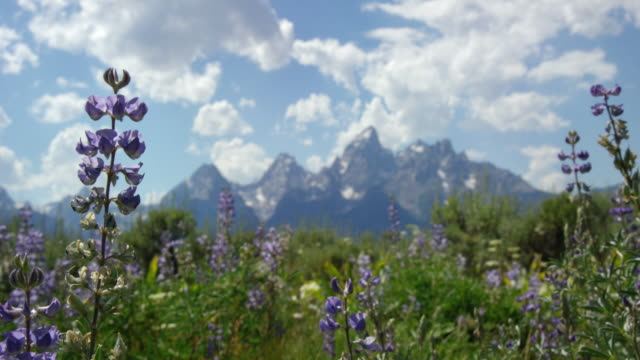 silvery lupine wildflowers sway in the breeze with the grand teton mountains in grand teton national park in the background in western wyoming on a sunny day - grand teton stock videos & royalty-free footage