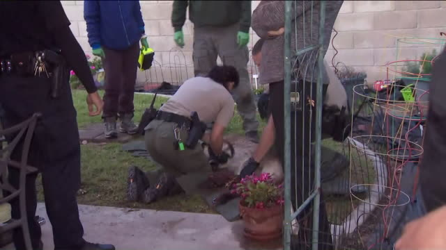 ktla simi valley ca us california department of fish and wildlife officers preparing a tranquilized mountain lion for a transport in a simi valley... - puma stock videos & royalty-free footage