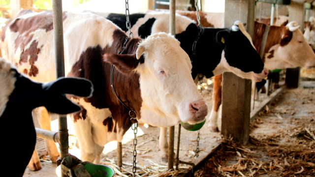 simmental and holstein cows in a row at the barn - animal markings stock videos & royalty-free footage