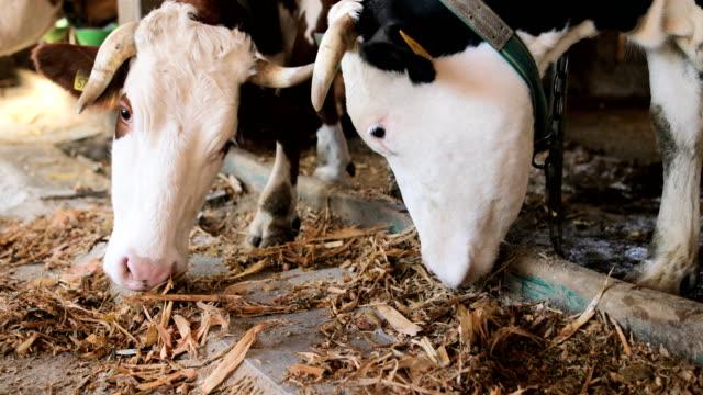 vidéos et rushes de simmental et vaches holstein consécutive à la grange - couleur et motif du pelage