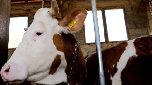 vidéos et rushes de vache simmental consécutive à la grange - couleur et motif du pelage