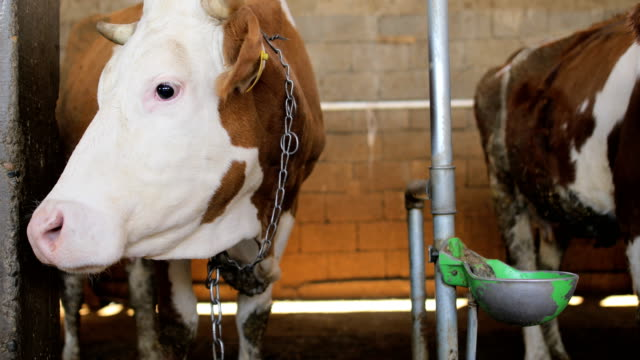 Simmental Cow in a row at the barn