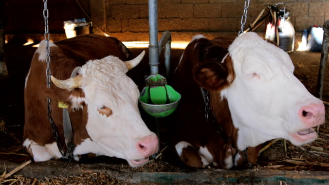 Simmental Cows at moments of rest
