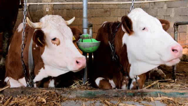 vidéos et rushes de vaches simmental à des moments de repos - couleur et motif du pelage