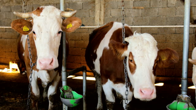Simmental Cows in a row at the barn