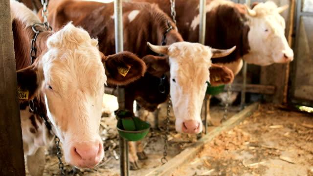 vidéos et rushes de simmental vaches dans une rangée au barn - couleur et motif du pelage