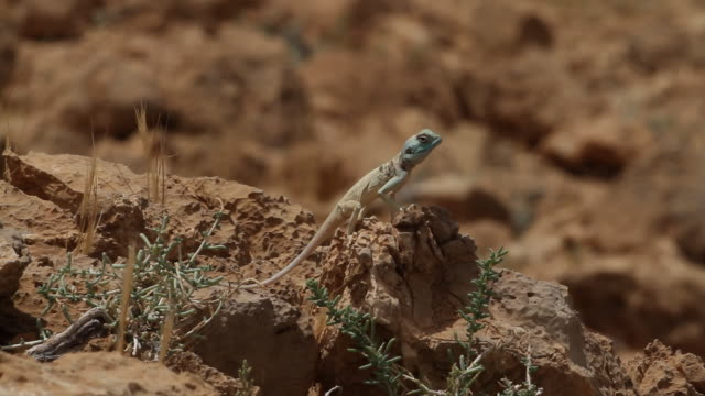 Sinai agama (Pseudotrapelus sinaitus) with blue head in a Courtship display, on a rock in the negev desert