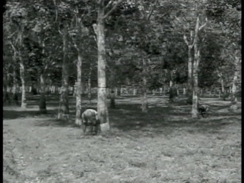 singapore natives cutting grooves into rubber trees. worker moving to another tree. small knife tapping latex in rubber tree into cup. workers... - 1942 bildbanksvideor och videomaterial från bakom kulisserna