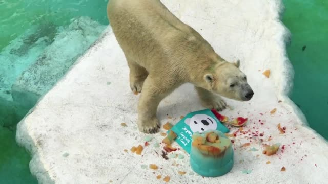 Singapore Zoo's polar bear Inuka celebrates his 27th birthday which is equivalent to more than 70 years in human terms with a special jelly and...