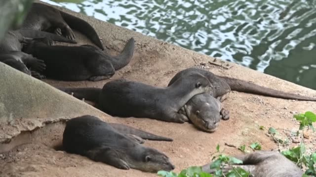 singapore's otters, long adored by the city-state's nature lovers, are popping up in unexpected places during the coronavirus lockdown, but their... - singapore stock videos & royalty-free footage