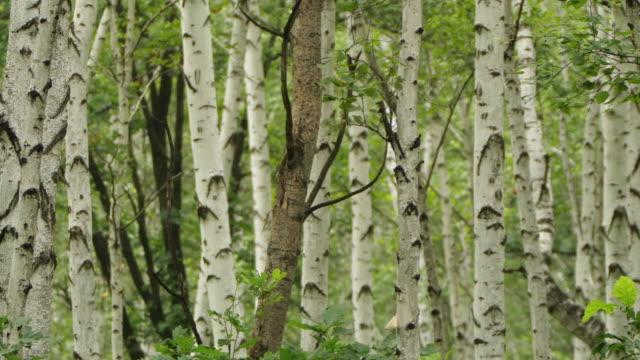 白檀の森で鳥を歌う - ヒンガン自然保護区 - カバノキ点の映像素材/bロール