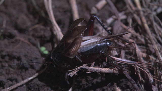 a singing cricket - birdsong stock videos & royalty-free footage