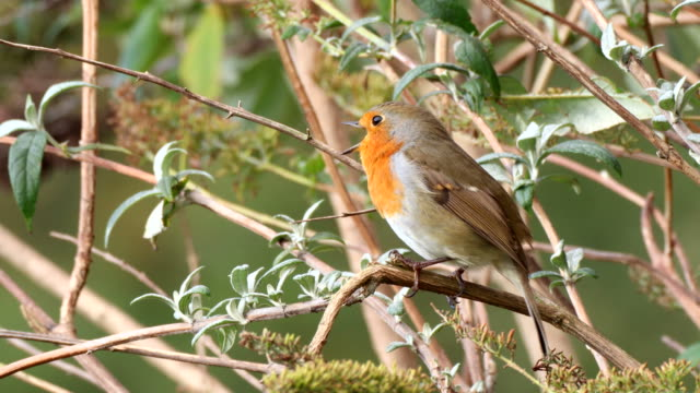 singing european robin - songbird stock videos & royalty-free footage