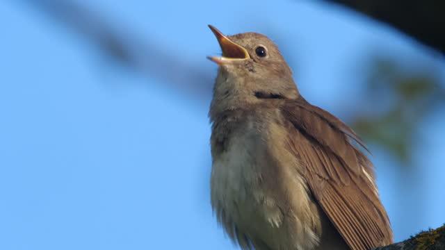 singing nightingale (luscinia luscinia) at may, belarus - nightingale stock videos & royalty-free footage