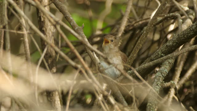 singing nightingale (luscinia luscinia) at may, belarus - named wilderness area stock videos & royalty-free footage