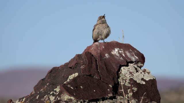 Singing rock wren perched lichen boulder Irish Canyon Colorado desert