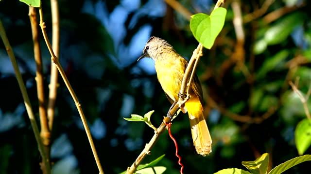 singing yellow warbler - birdsong stock videos & royalty-free footage