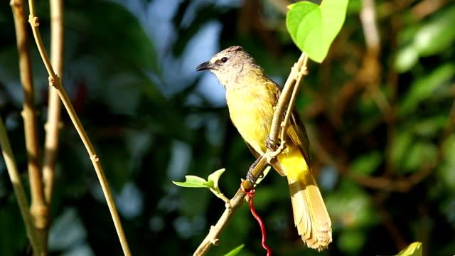 singing yellow warbler - warbler stock videos & royalty-free footage