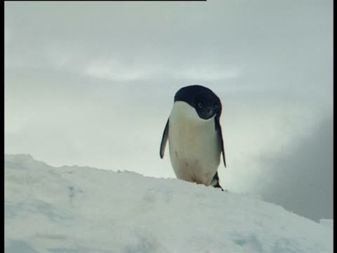 single adelie penguin (pygoscelis adeliae) on ice, paulet island, antarctic peninsula, antarctica - antarctic peninsula stock videos & royalty-free footage