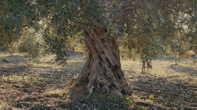 single ancient olive tree in italy - eternity stock videos & royalty-free footage