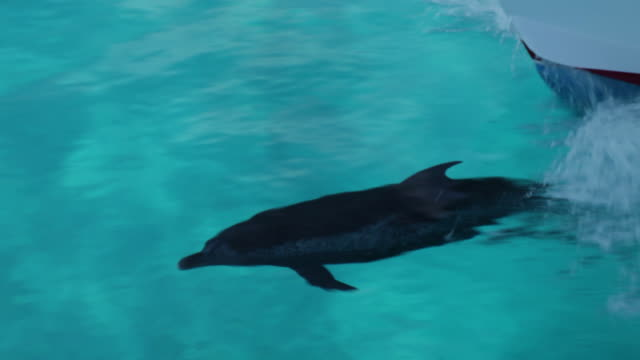 single atlantic spotted dolphin bowriding, shot from side  - spotted dolphin stock videos and b-roll footage