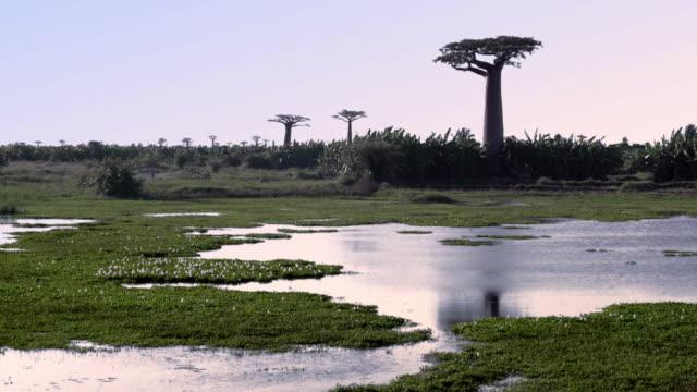単一のバオバブの木は、湿地に生育します。マダガスカルのバオバブのアベニュー - マダガスカル点の映像素材/bロール