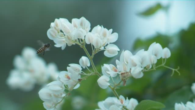 vídeos y material grabado en eventos de stock de a single bee flying & landing on a white flower  - cuarenta segundos o más