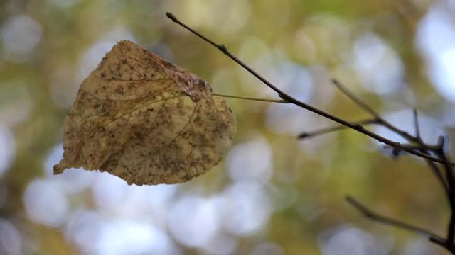 a single birch tree leaf - カバノキ点の映像素材/bロール