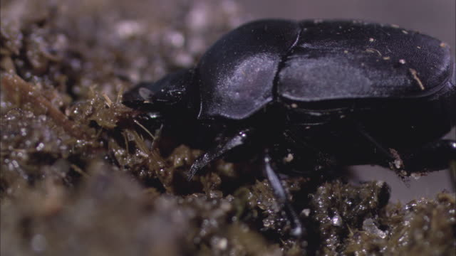 cu single black dung beetle picking and eating / new orleans, louisiana, united states - invertebrate stock videos and b-roll footage