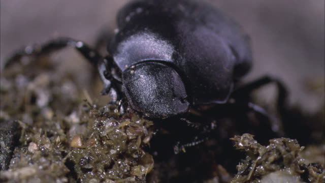 ts single black dung beetle picking and eating / new orleans, louisiana, united states - invertebrate stock videos and b-roll footage