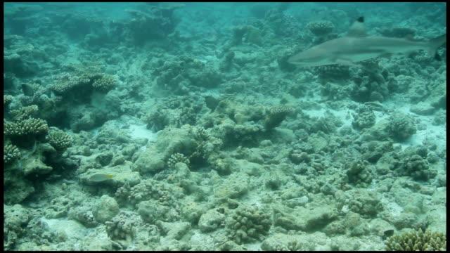 Ein schwarzer Spitze Hai Geschwindigkeit von