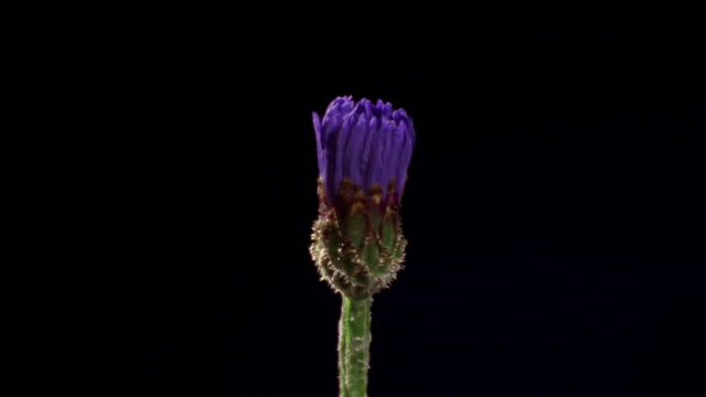 t/l, cu, single blue cornflower opening against black background - single object stock videos & royalty-free footage